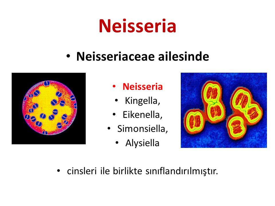Neisseria Neisseriaceae ailesinde Neisseria Kingella, Eikenella, Simonsiella, Alysiella cinsleri ile birlikte sınıflandırılmıştır.