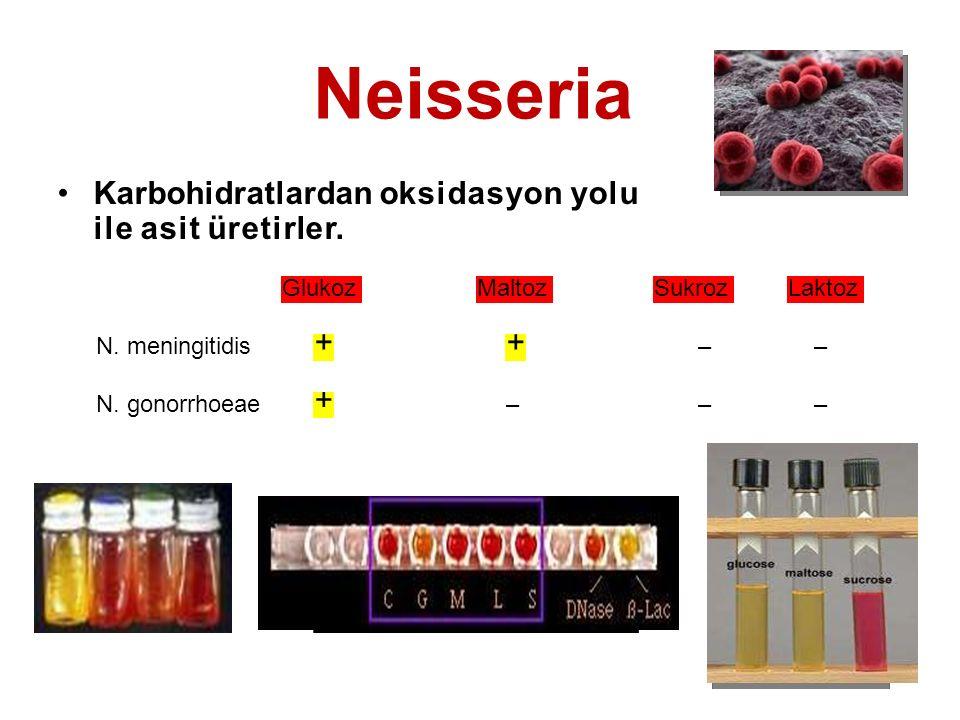 Neisseria Karbohidratlardan oksidasyon yolu ile asit üretirler. GlukozMaltozSukrozLaktoz N. meningitidis ++ –– N. gonorrhoeae + –––