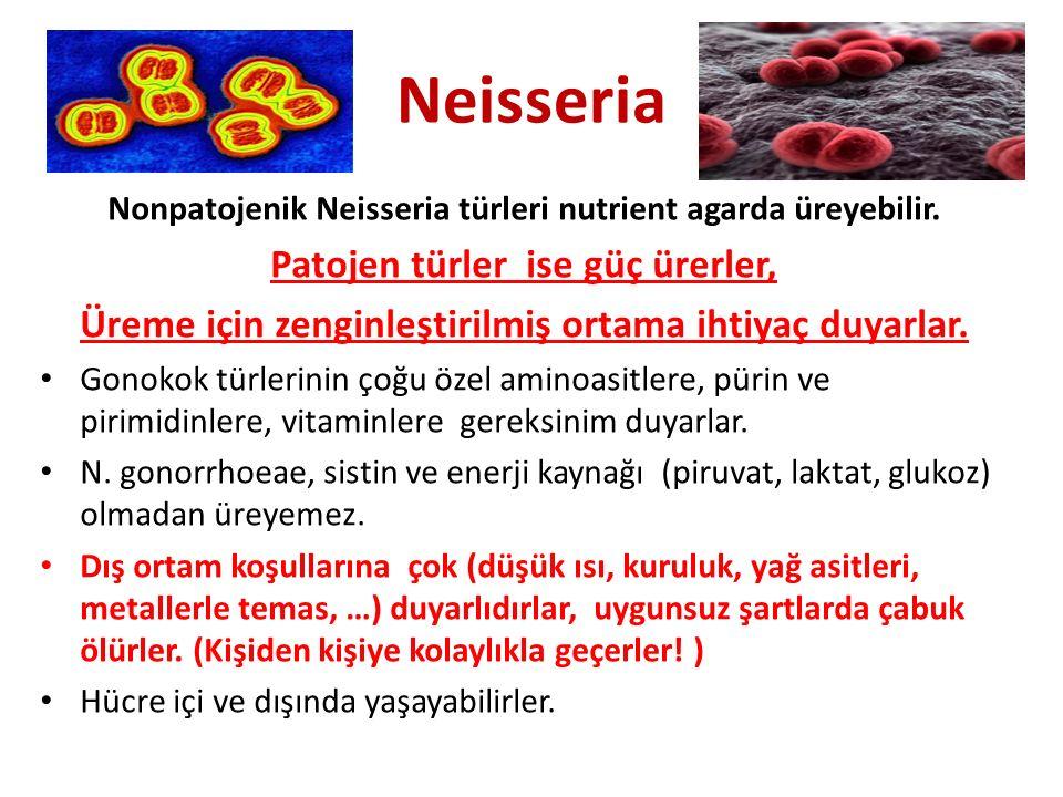 Neisseria Nonpatojenik Neisseria türleri nutrient agarda üreyebilir. Patojen türler ise güç ürerler, Üreme için zenginleştirilmiş ortama ihtiyaç duyar