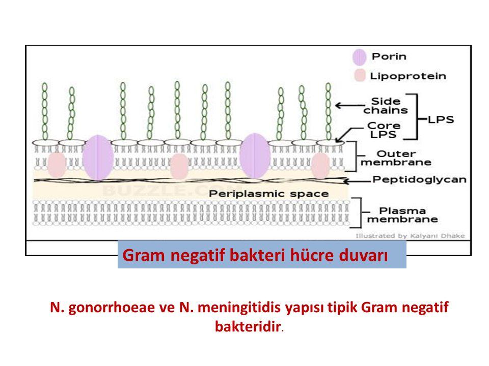 Gram negatif bakteri hücre duvarı N. gonorrhoeae ve N. meningitidis yapısı tipik Gram negatif bakteridir.