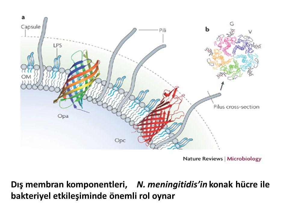 Dış membran komponentleri, N. meningitidis'in konak hücre ile bakteriyel etkileşiminde önemli rol oynar