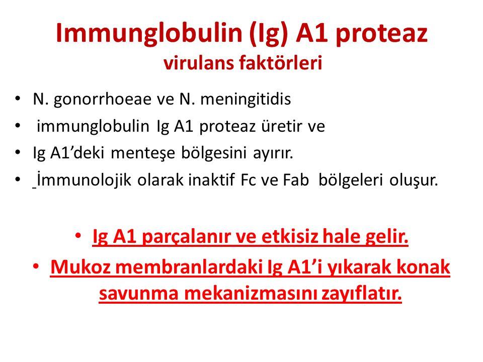 Immunglobulin (Ig) A1 proteaz virulans faktörleri N. gonorrhoeae ve N. meningitidis immunglobulin Ig A1 proteaz üretir ve Ig A1'deki menteşe bölgesini