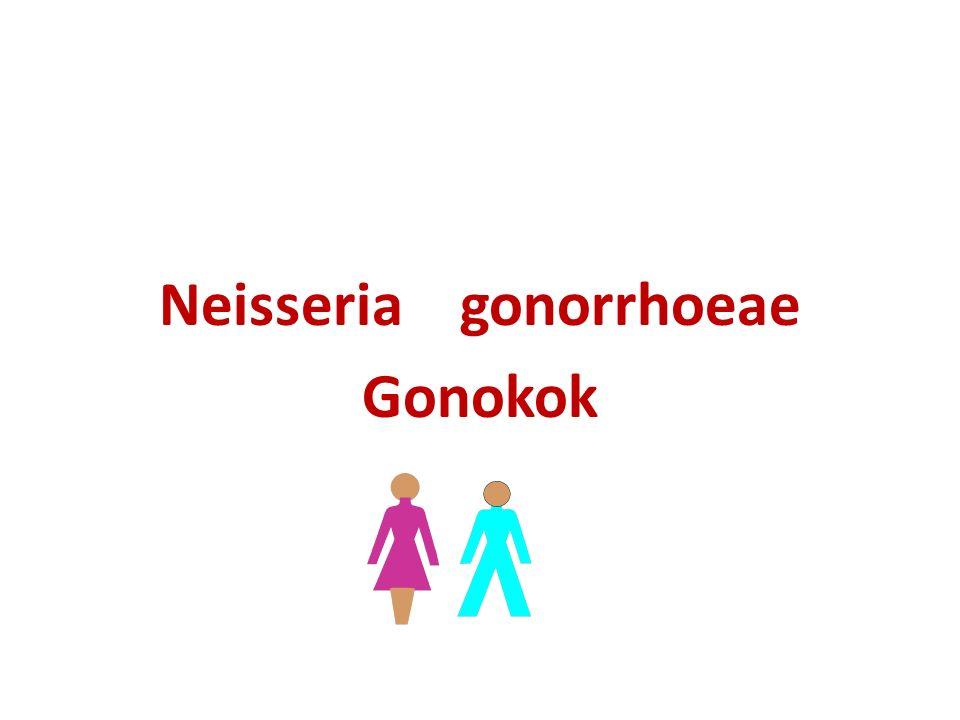 Neisseria gonorrhoeae Gonokok
