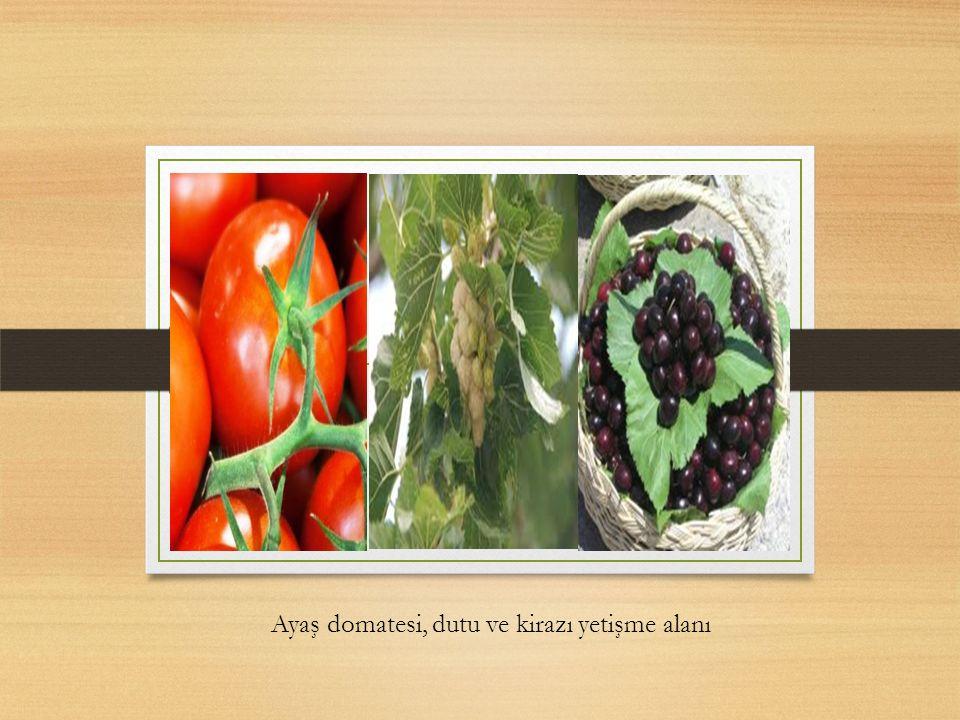 a Ayaş domatesi, dutu ve kirazı yetişme alanı