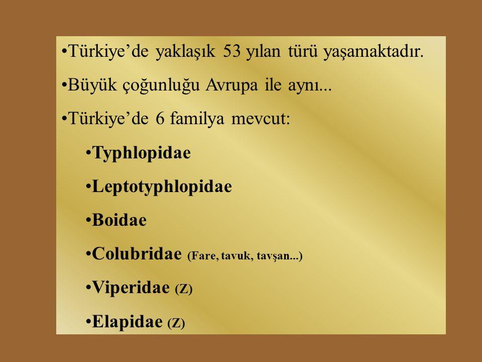 Türkiye'de yaklaşık 53 yılan türü yaşamaktadır. Büyük çoğunluğu Avrupa ile aynı...