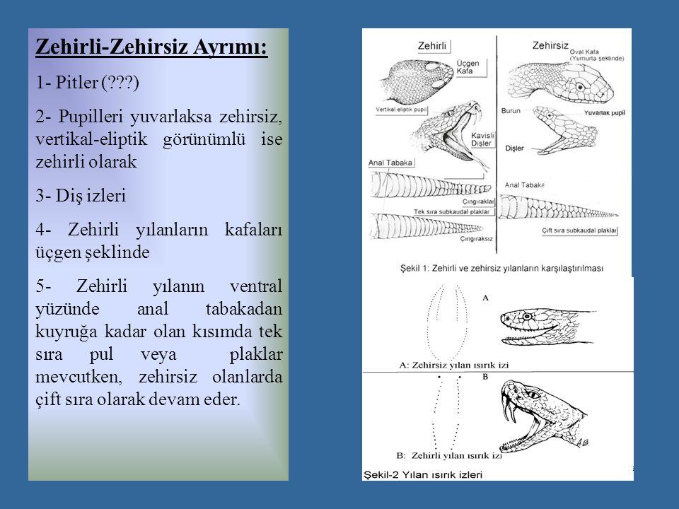 Zehirli-Zehirsiz Ayrımı: 1- Pitler ( ) 2- Pupilleri yuvarlaksa zehirsiz, vertikal-eliptik görünümlü ise zehirli olarak 3- Diş izleri 4- Zehirli yılanların kafaları üçgen şeklinde 5- Zehirli yılanın ventral yüzünde anal tabakadan kuyruğa kadar olan kısımda tek sıra pul veya plaklar mevcutken, zehirsiz olanlarda çift sıra olarak devam eder.