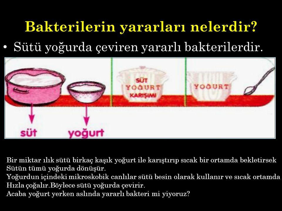Sütü yoğurda çeviren yararlı bakterilerdir. Bir miktar ılık sütü birkaç kaşık yoğurt ile karıştırıp sıcak bir ortamda bekletirsek Sütün tümü yoğurda d