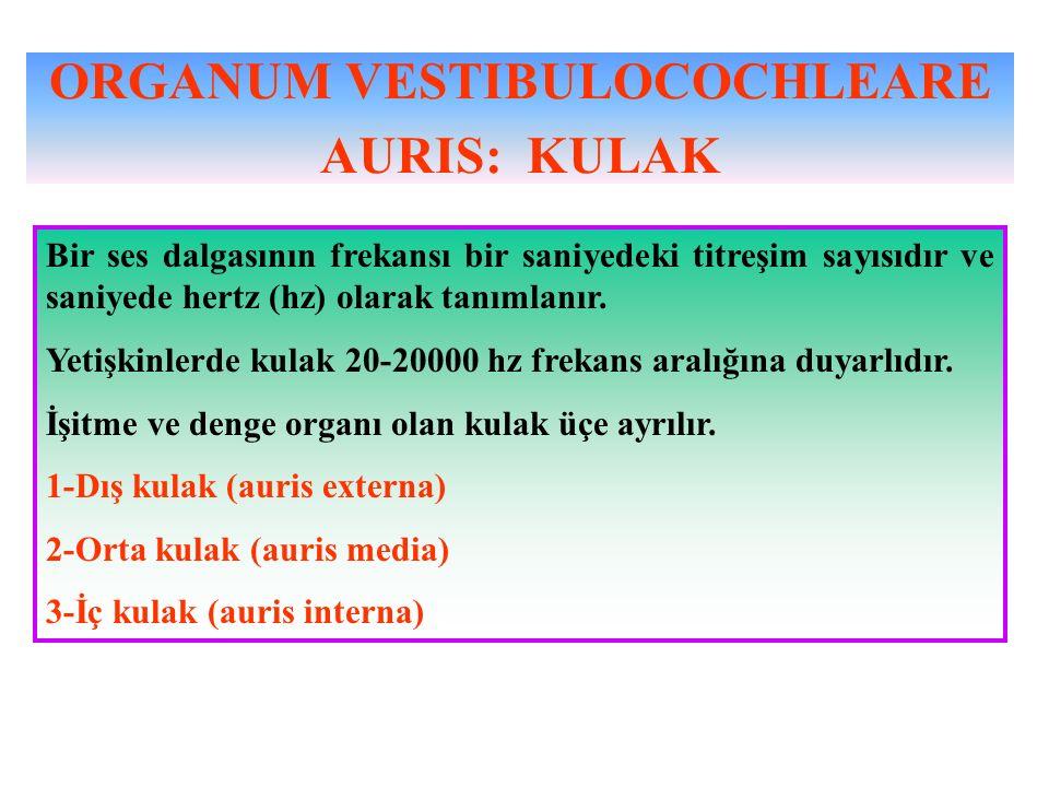 ORGANUM VESTIBULOCOCHLEARE AURIS: KULAK Bir ses dalgasının frekansı bir saniyedeki titreşim sayısıdır ve saniyede hertz (hz) olarak tanımlanır. Yetişk