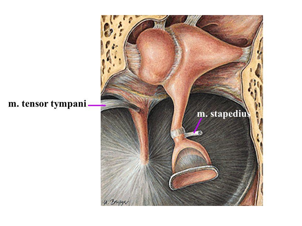 m. tensor tympani m. stapedius