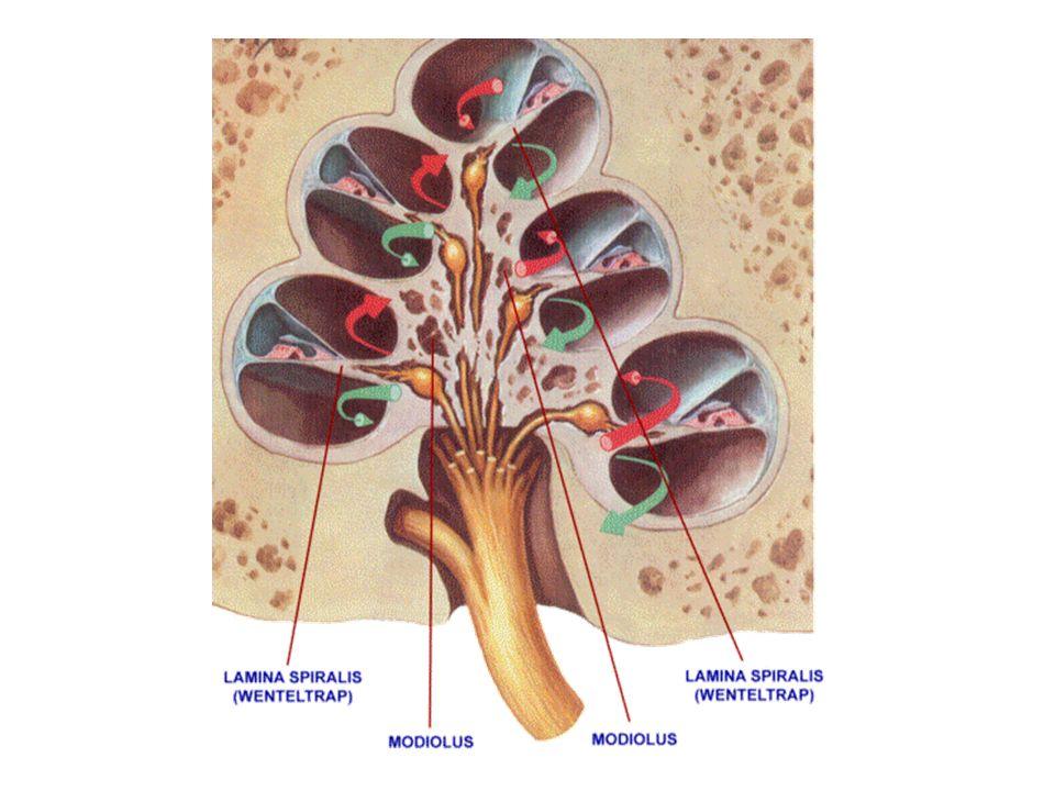 scala vestibuli scala tympani scala media lamina basilaris paries externus ductus cochlearis Corti organı membrana tectoria paries vestibularis ductus cochlearis ggl.