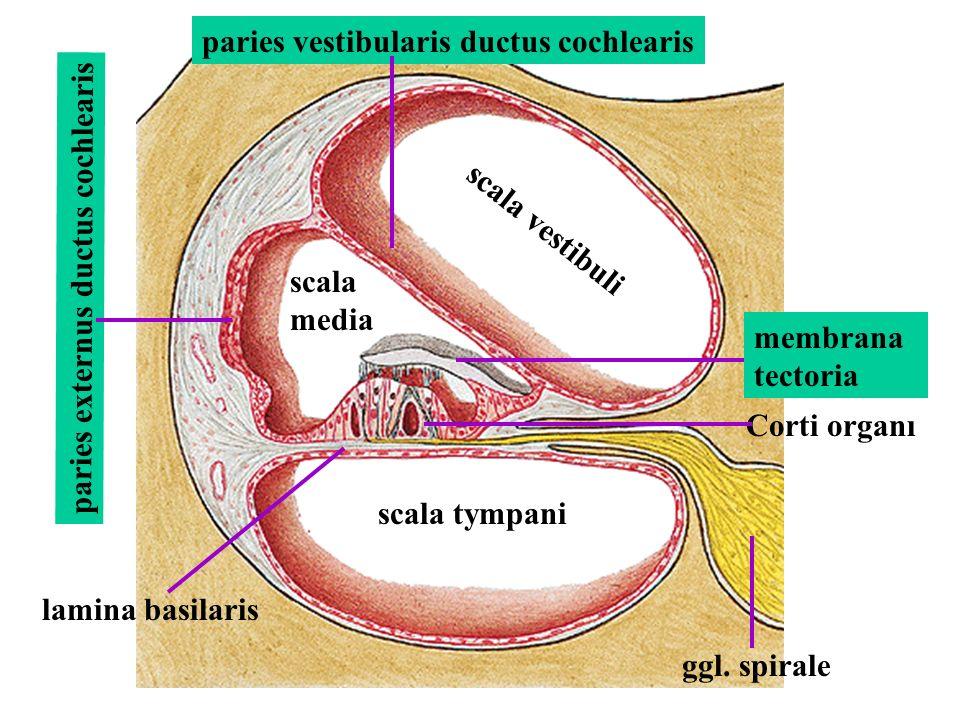 scala vestibuli scala tympani scala media lamina basilaris paries externus ductus cochlearis Corti organı membrana tectoria paries vestibularis ductus