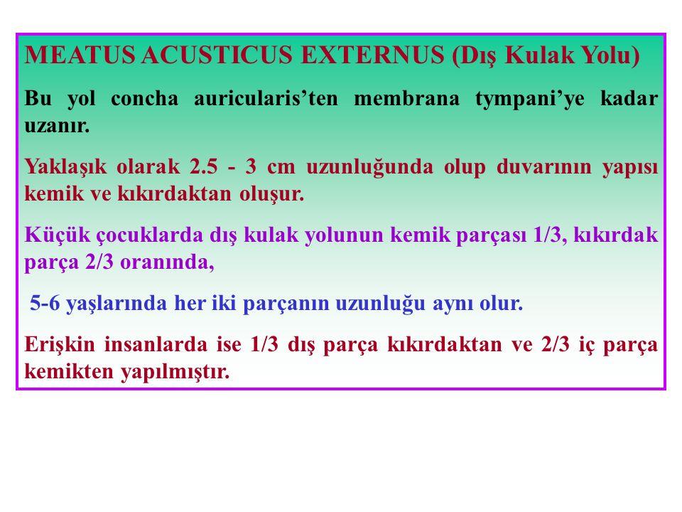 MEATUS ACUSTICUS EXTERNUS (Dış Kulak Yolu) Bu yol concha auricularis'ten membrana tympani'ye kadar uzanır. Yaklaşık olarak 2.5 - 3 cm uzunluğunda olup