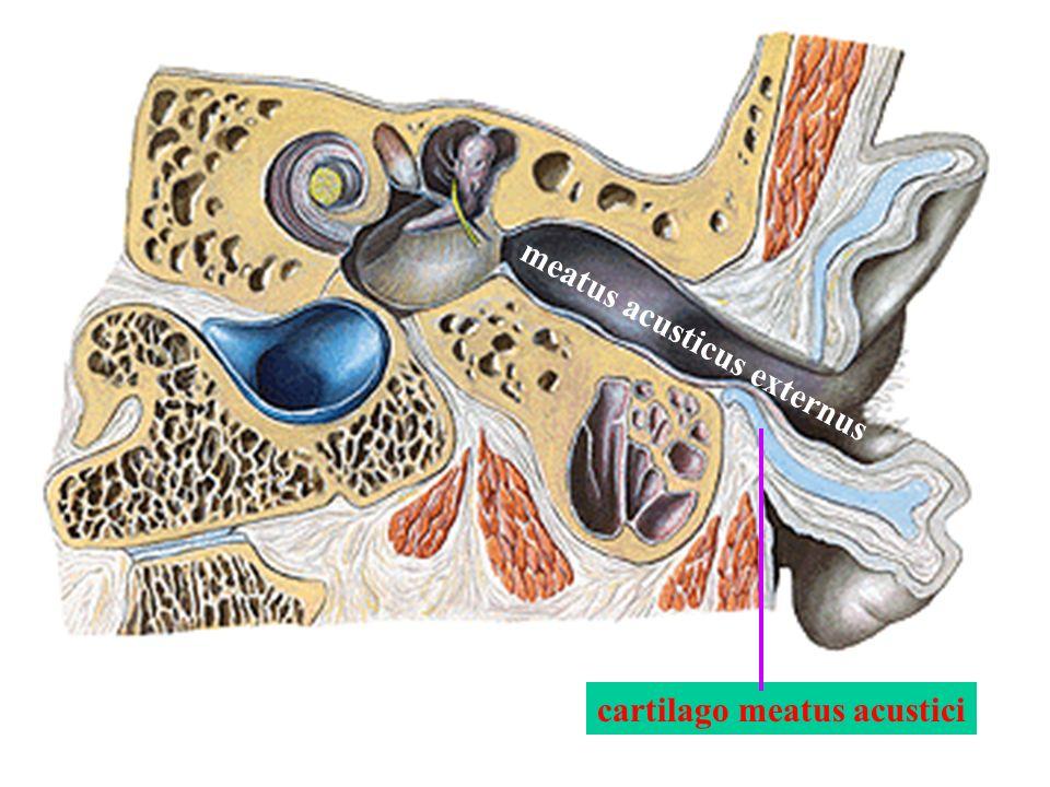 cartilago meatus acustici meatus acusticus externus
