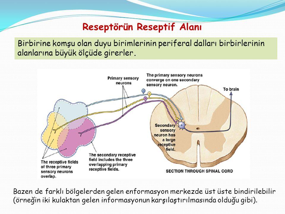 Bazen de farklı bölgelerden gelen enformasyon merkezde üst üste bindirilebilir (örneğin iki kulaktan gelen informasyonun karşılaştırılmasında olduğu gibi).