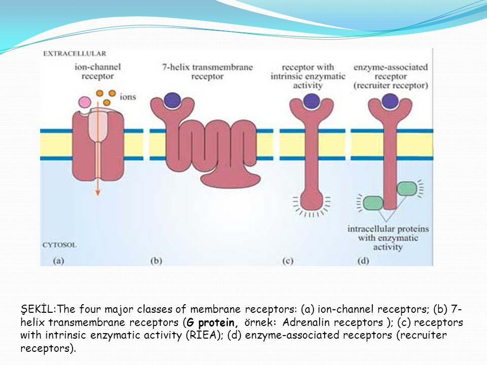 ŞEKİL:The four major classes of membrane receptors: (a) ion-channel receptors; (b) 7- helix transmembrane receptors (G protein, örnek: Adrenalin receptors ); (c) receptors with intrinsic enzymatic activity (RIEA); (d) enzyme-associated receptors (recruiter receptors).