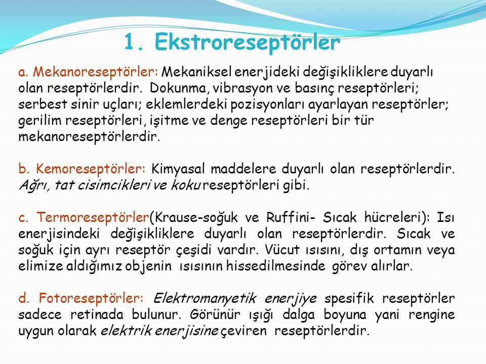 a. Mekanoreseptörler: Mekaniksel enerjideki değişikliklere duyarlı olan reseptörlerdir.