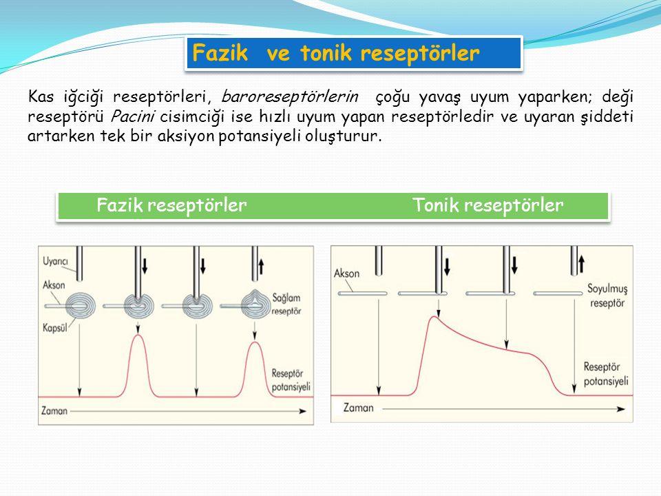 Fazik reseptörler Tonik reseptörler Kas iğciği reseptörleri, baroreseptörlerin çoğu yavaş uyum yaparken; deği reseptörü Pacini cisimciği ise hızlı uyum yapan reseptörledir ve uyaran şiddeti artarken tek bir aksiyon potansiyeli oluşturur.
