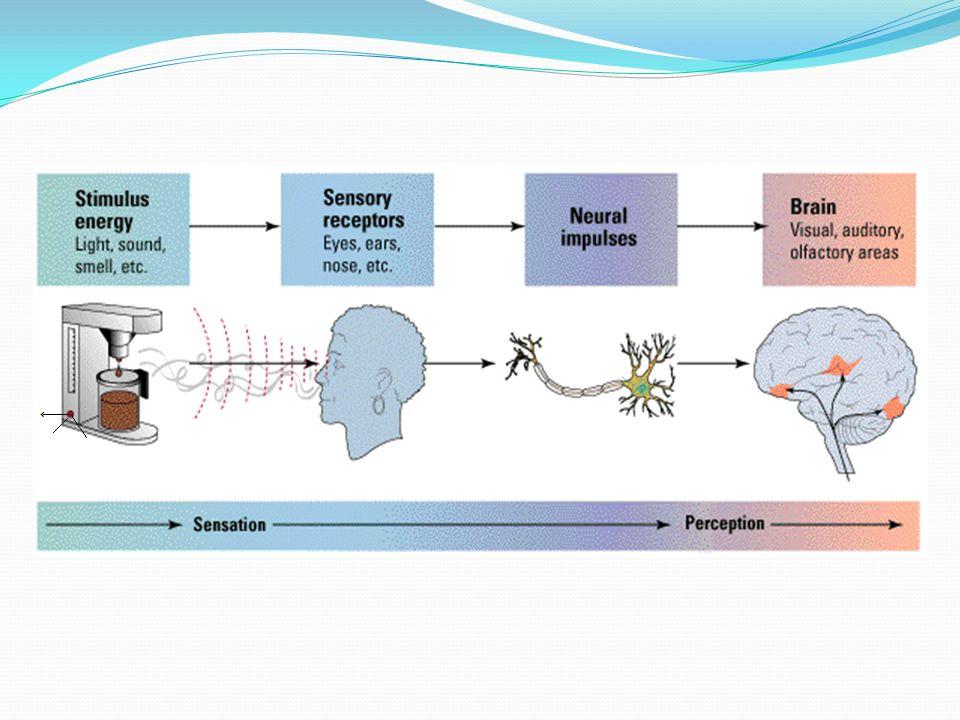 ● Her reseptör aynı hızda adapte olamaz.