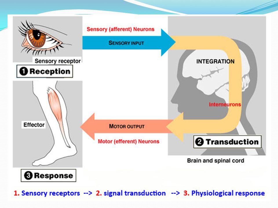UYARAN ŞİDDETİ İLE RESEPTÖR POTANSİYELİ ARASINDAKİ İLİŞKİ ● Tüm reseptörler uyarıldıktan sonra sinyalin şiddetine bağlı olarak oluşan aksiyon potansiyelleri sinir sistemine ulaşır.