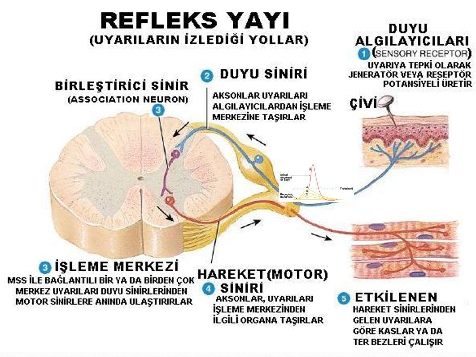 REFLEKS YAYI Oluşan tepki motor nöronlar aracılığı ile effektör organlara iletilir.