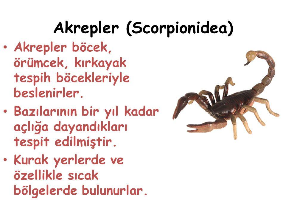 Akrepler (Scorpionidea) Akrepler böcek, örümcek, kırkayak tespih böcekleriyle beslenirler.
