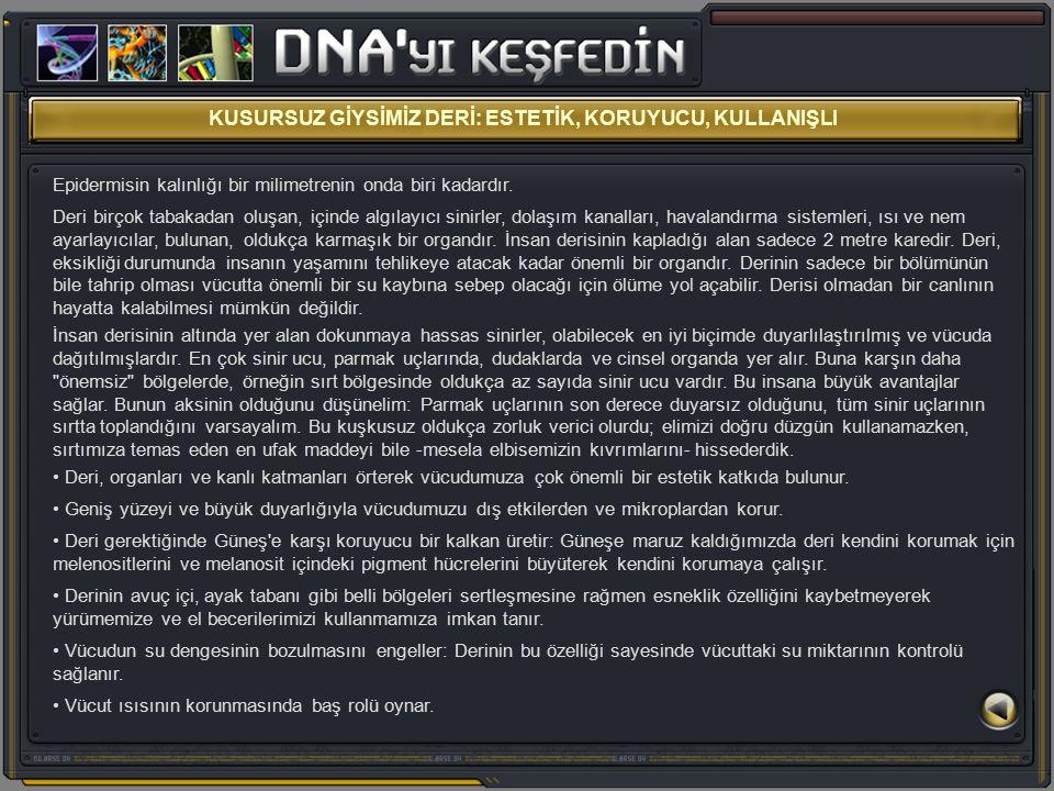 Uzun yeşil renkli hücrenin şekline bakın ve içinde DNA'nın bulunduğu kırmızı renkteki çekirdeğe dikkat edin.