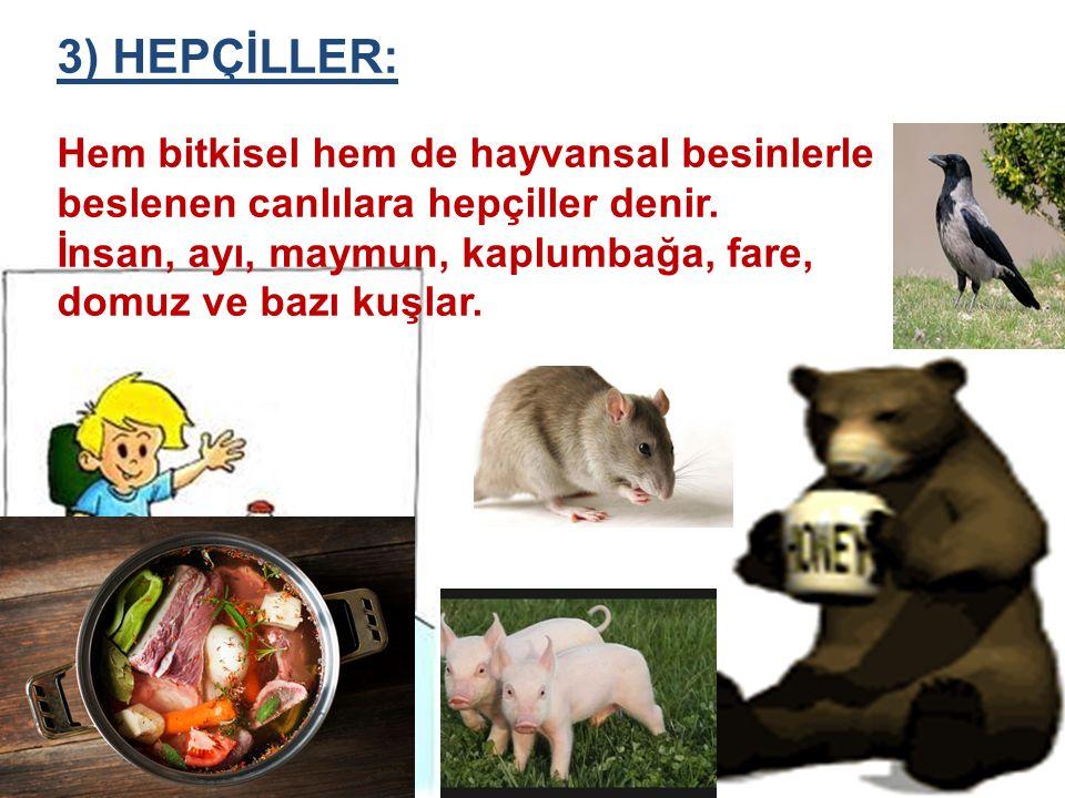 3) HEPÇİLLER: Hem bitkisel hem de hayvansal besinlerle beslenen canlılara hepçiller denir. İnsan, ayı, maymun, kaplumbağa, fare, domuz ve bazı kuşlar.