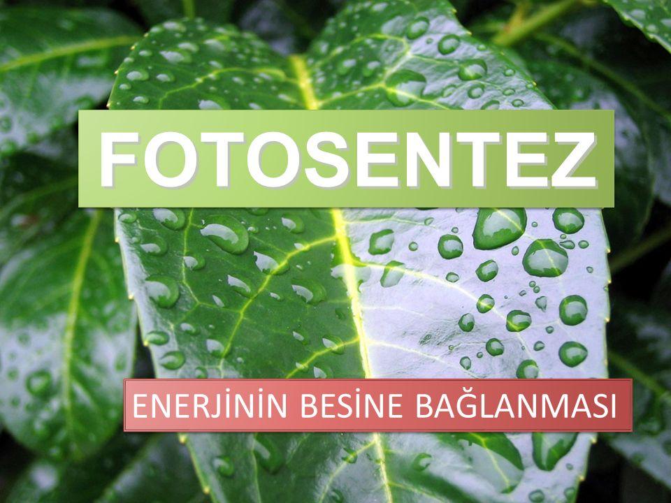 FOTOSENTEZ FOTOSENTEZ ENERJİNİN BESİNE BAĞLANMASI