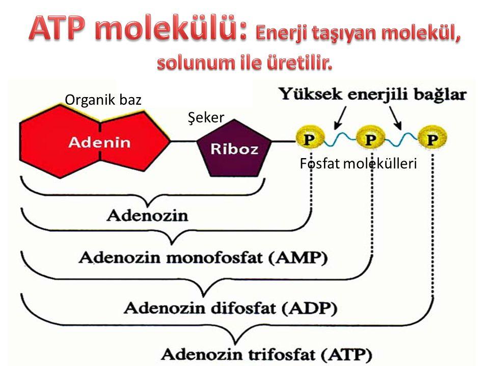 Organik baz Şeker Fosfat molekülleri