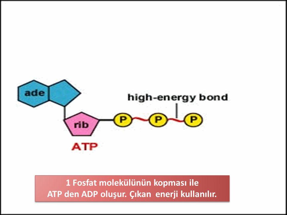 1 Fosfat molekülünün kopması ile ATP den ADP oluşur. Çıkan enerji kullanılır. 1 Fosfat molekülünün kopması ile ATP den ADP oluşur. Çıkan enerji kullan