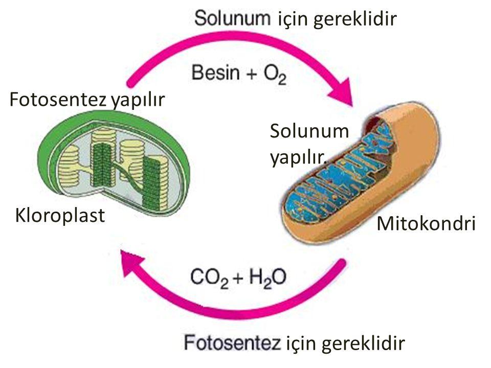 için gereklidir Mitokondri Kloroplast Fotosentez yapılır Solunum yapılır.
