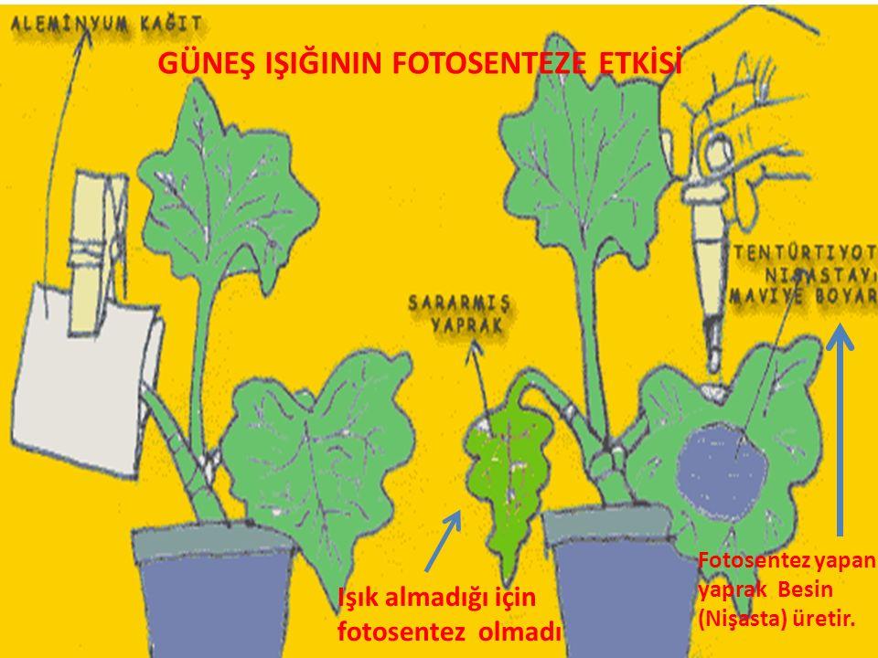 Işık almadığı için fotosentez olmadı Fotosentez yapan yaprak Besin (Nişasta) üretir. GÜNEŞ IŞIĞININ FOTOSENTEZE ETKİSİ