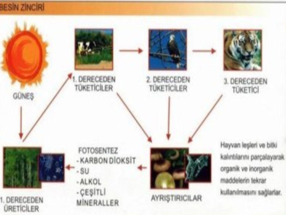 Besin zinciri ; mutlaka bir üretici ile başlar. Üretici olmadan zincir oluşmaz. Güneş Üretici