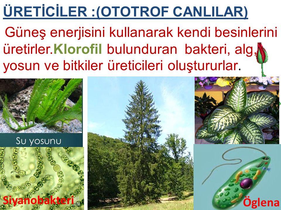 ÜRETİCİLER :(OTOTROF CANLILAR) Güneş enerjisini kullanarak kendi besinlerini üretirler.Klorofil bulunduran bakteri, alg, yosun ve bitkiler üreticileri