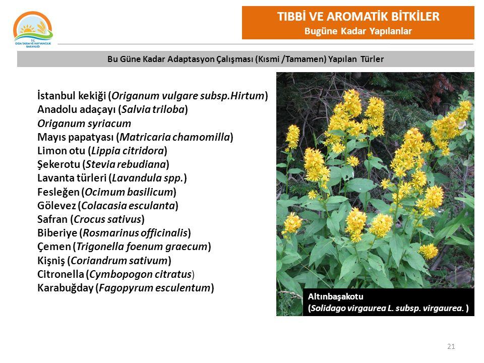 21 İstanbul kekiği (Origanum vulgare subsp.Hirtum) Anadolu adaçayı (Salvia triloba) Origanum syriacum Mayıs papatyası (Matricaria chamomilla) Limon otu (Lippia citridora) Şekerotu (Stevia rebudiana) Lavanta türleri (Lavandula spp.) Fesleğen (Ocimum basilicum) Gölevez (Colacasia esculanta) Safran (Crocus sativus) Biberiye (Rosmarinus officinalis) Çemen (Trigonella foenum graecum) Kişniş (Coriandrum sativum) Citronella (Cymbopogon citratus ) Karabuğday (Fagopyrum esculentum) Bu Güne Kadar Adaptasyon Çalışması (Kısmi /Tamamen) Yapılan Türler TIBBİ VE AROMATİK BİTKİLER Bugüne Kadar Yapılanlar Altınbaşakotu (Solidago virgaurea L.