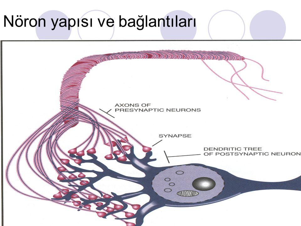 Nöropeptidler Barsak ve beyinde bulunan peptidler Kolesistokinin Gastrin Glukagon İnsülin Nörpeptid Y Peptid YY Pankreatik polipeptid Vazoaktif barsak peptidi (VIP)