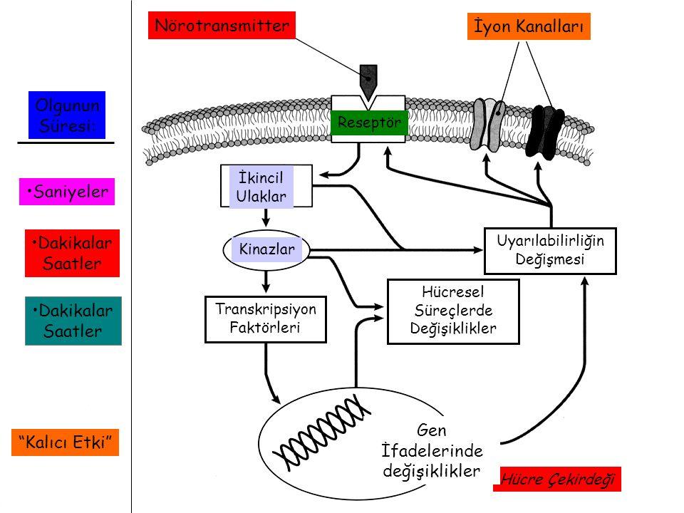 Nörotransmitter İyon Kanalları Reseptör İkincil Ulaklar Kinazlar Transkripsiyon Faktörleri Hücre Çekirdeği Gen İfadelerinde değişiklikler Hücresel Sür
