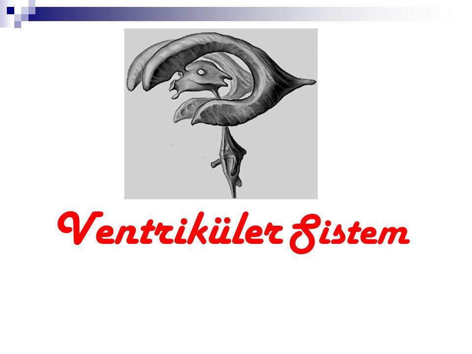 Yapı: ventriküller nöral kanalın canalis centralisinin rostral ucunu temsil eder.