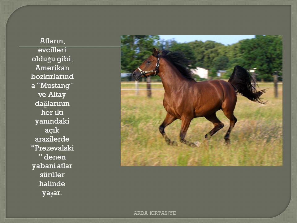 Atların, evcilleri oldu ğ u gibi, Amerikan bozkırlarınd a Mustang ve Altay da ğ larının her iki yanındaki açık arazilerde Prezevalski denen yabani atlar sürüler halinde ya ş ar.