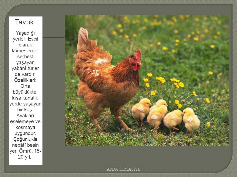 Tavuk Yaşadığı yerler: Evcil olarak kümeslerde; serbest yaşayan yabâni türler de vardır.