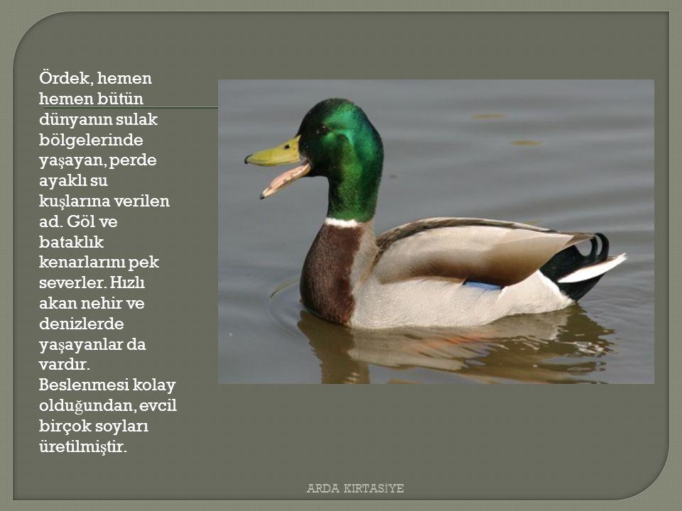 Ördek, hemen hemen bütün dünyanın sulak bölgelerinde ya ş ayan, perde ayaklı su ku ş larına verilen ad.