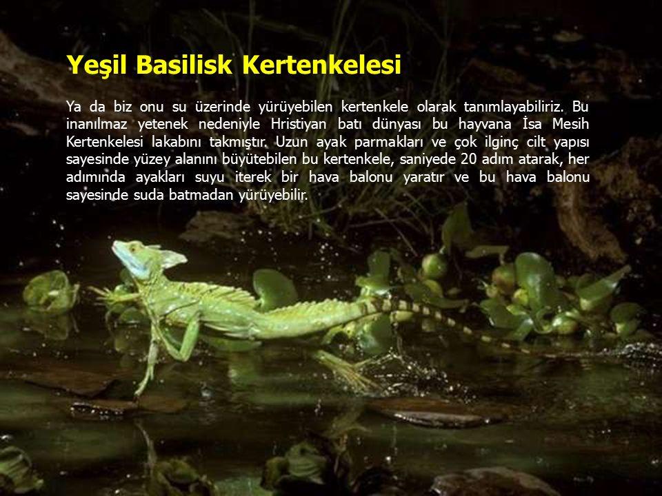 Yeşil Basilisk Kertenkelesi Ya da biz onu su üzerinde yürüyebilen kertenkele olarak tanımlayabiliriz.
