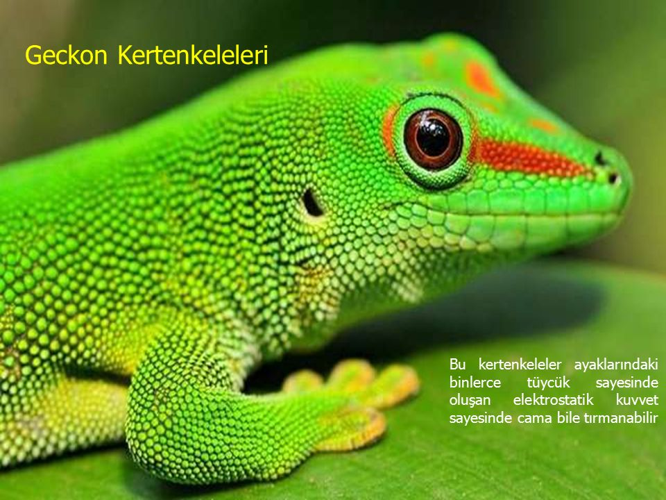 Geckon Kertenkeleleri Bu kertenkeleler ayaklarındaki binlerce tüycük sayesinde oluşan elektrostatik kuvvet sayesinde cama bile tırmanabilir