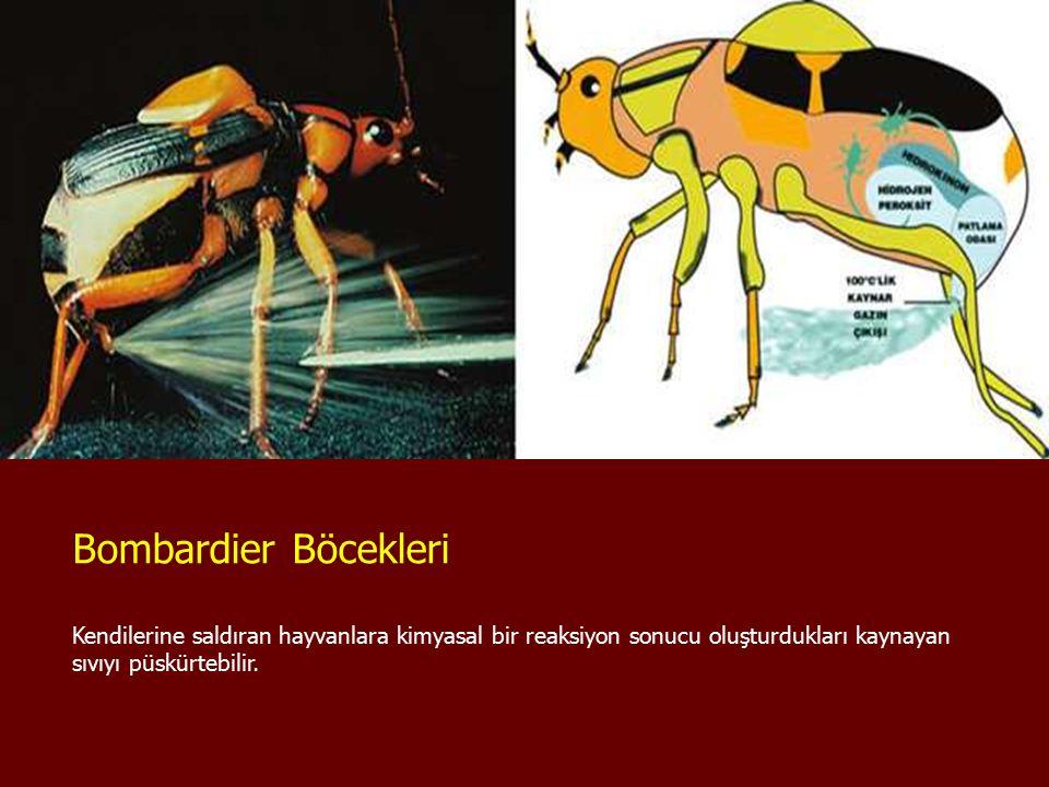 Bombardier Böcekleri Kendilerine saldıran hayvanlara kimyasal bir reaksiyon sonucu oluşturdukları kaynayan sıvıyı püskürtebilir.