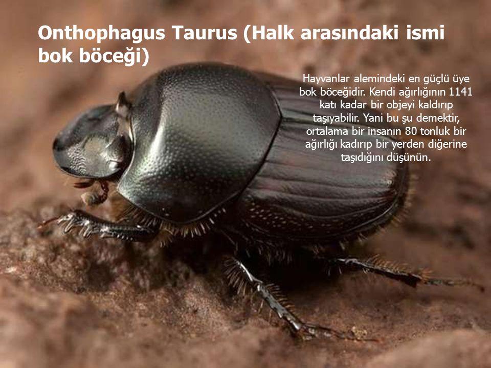 Onthophagus Taurus (Halk arasındaki ismi bok böceği) Hayvanlar alemindeki en güçlü üye bok böceğidir.