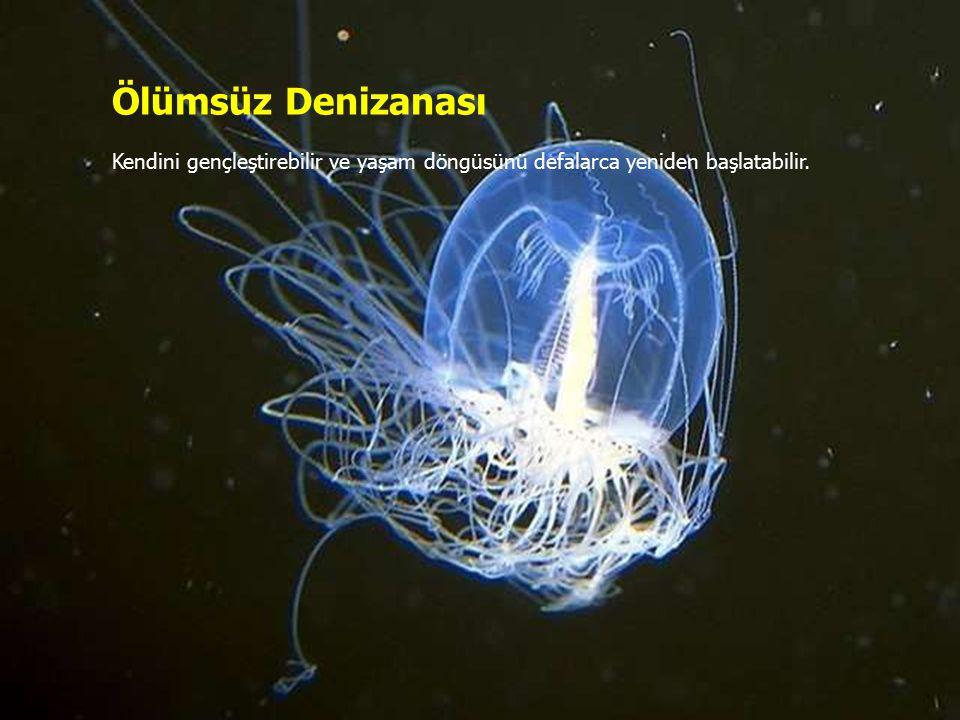 Ölümsüz Denizanası Kendini gençleştirebilir ve yaşam döngüsünü defalarca yeniden başlatabilir.