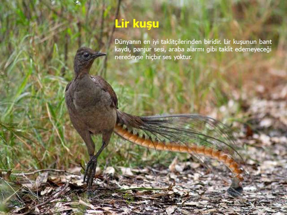 Lir kuşu Dünyanın en iyi taklitçilerinden biridir.