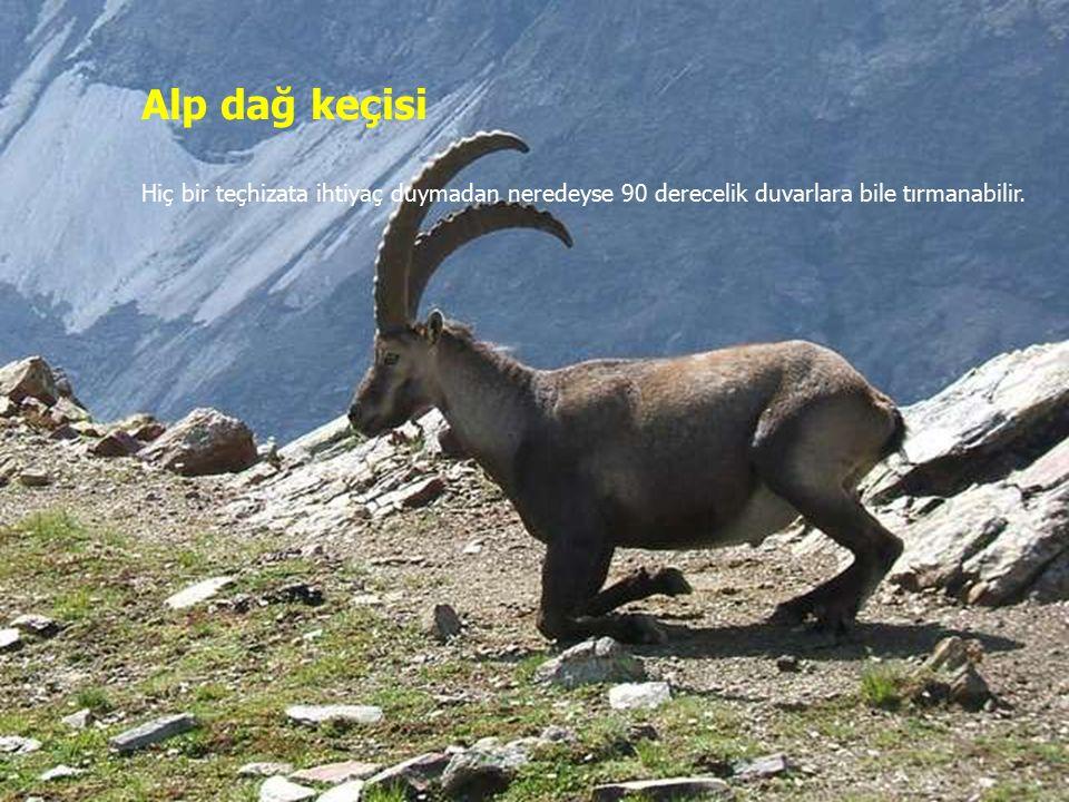 Alp dağ keçisi Hiç bir teçhizata ihtiyaç duymadan neredeyse 90 derecelik duvarlara bile tırmanabilir.