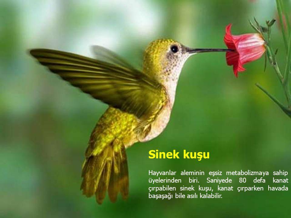 Sinek kuşu Hayvanlar aleminin eşsiz metabolizmaya sahip üyelerinden biri.