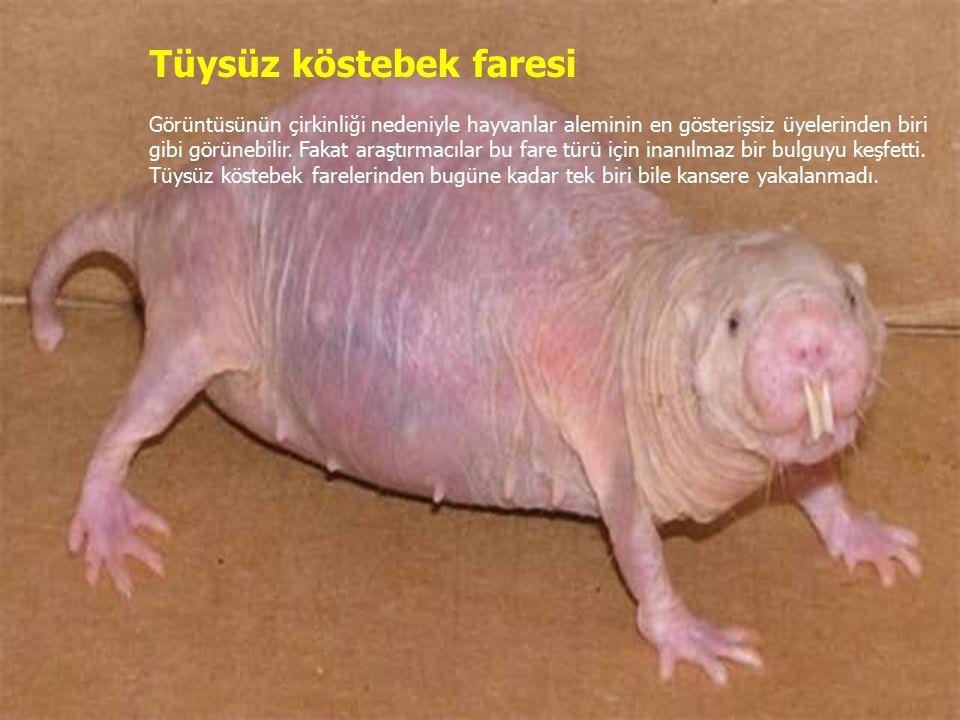 Tüysüz köstebek faresi Görüntüsünün çirkinliği nedeniyle hayvanlar aleminin en gösterişsiz üyelerinden biri gibi görünebilir.